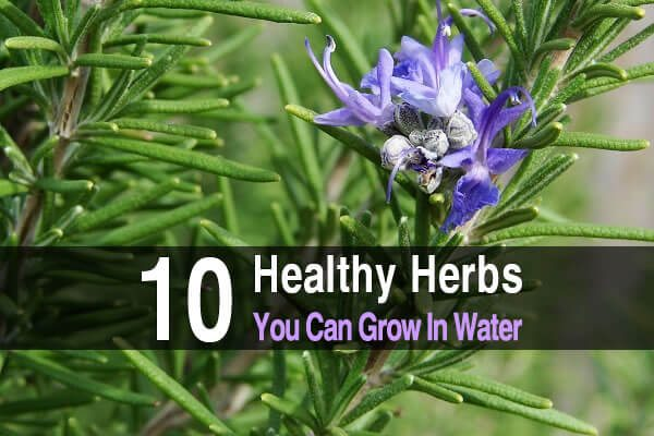 10 Healthy Herbs You Can Grow in Water