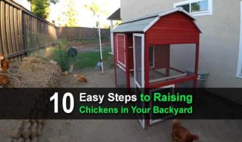 10 Easy Steps to Raising Chickens in Your Backyard