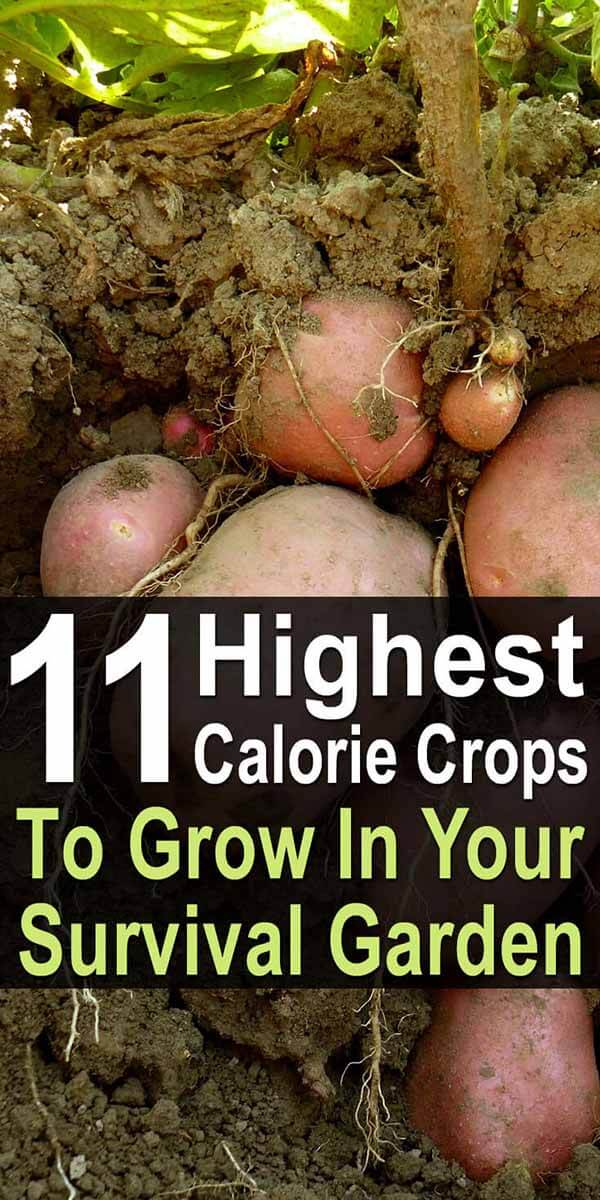 11 Highest Calorie Crops for Your Survival Garden