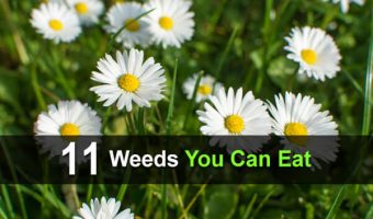 11 Weeds You Can Eat