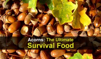 Acorns: The Ultimate Survival Food