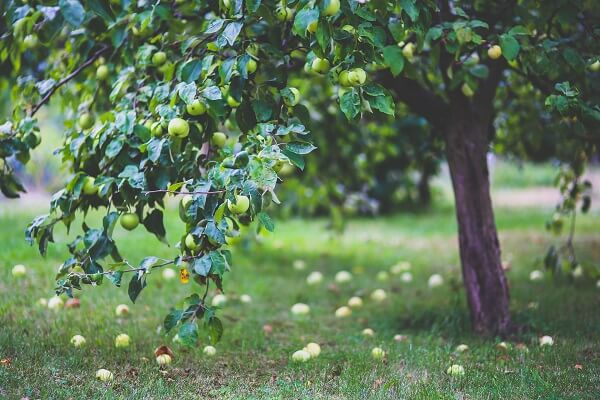 Apple Tree | Trees Every Prepper Should Know