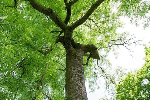 Ash Tree | Trees Every Prepper Should Know