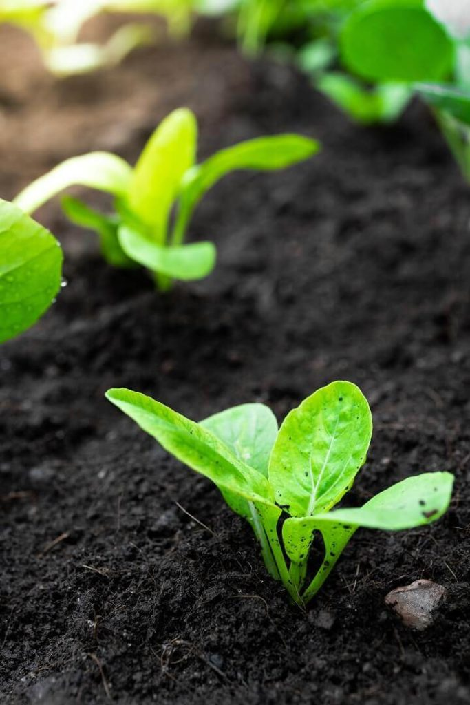 Baby Bok Choy Plants In Ground