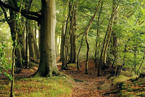 Beech Tree | Trees Every Prepper Should Know