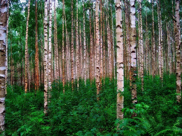 Birch Trees | Trees Every Prepper Should Know