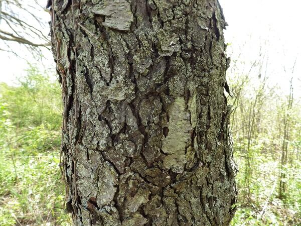 Black Cherry Bark