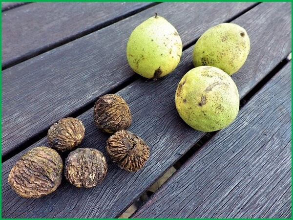 Black Walnuts in Shell and Shelled