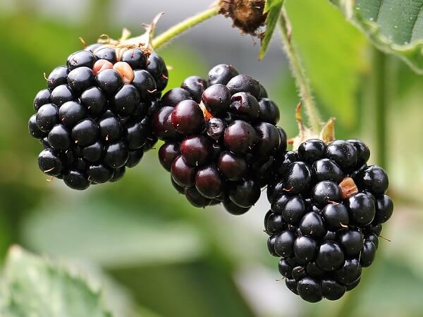 Blackberry | Native American Herbs