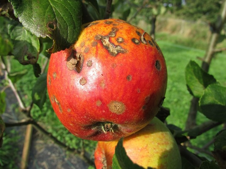 Blight On Apple