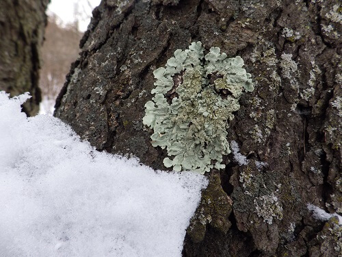 Blue Green Lichen That's Safe To Eat