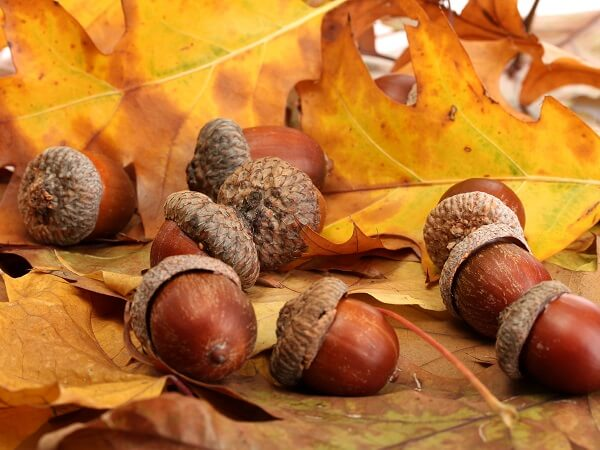 Brown Acorns & Autumn Leaves