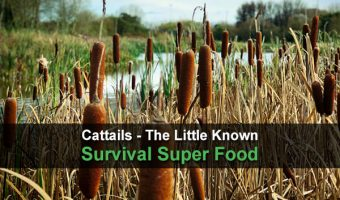 Cattails - The Little Known Survival Super Food