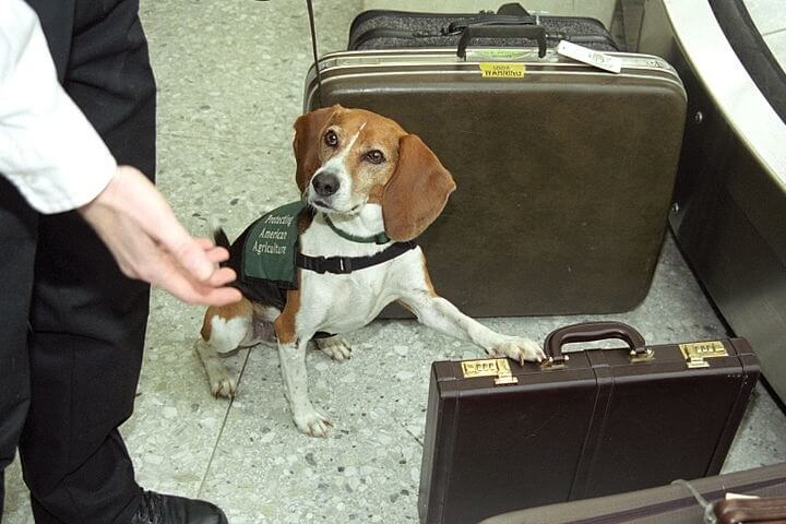 Dog Inspecting Luggage