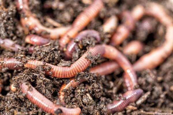Earthworms in Dirt