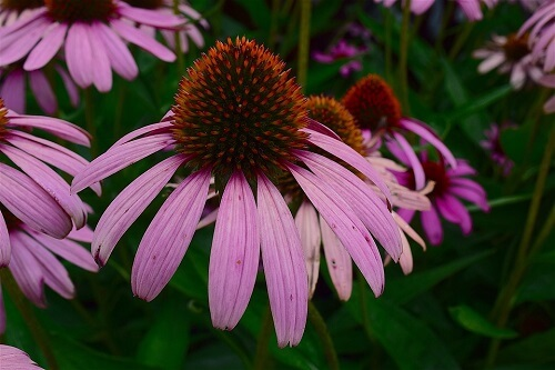 Echinacea | Herbal Alternatives to Antibiotics