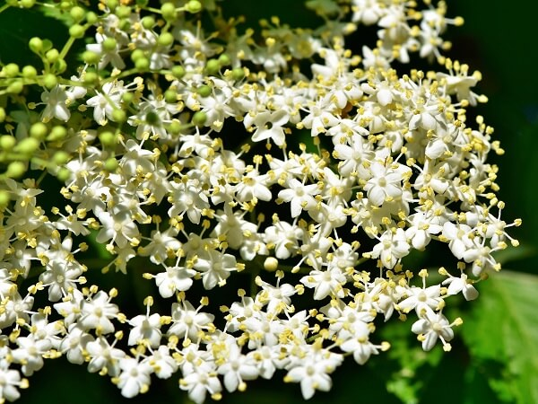 Elderflower | Native American Herbs