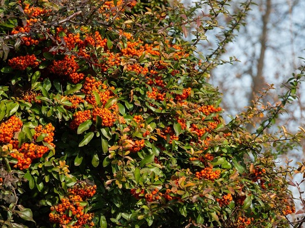 Firethorn | Best Plants for Home Security