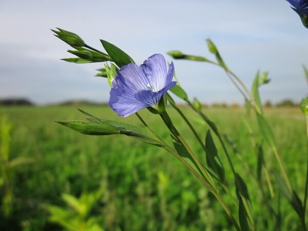 Flax | Native American Herbs
