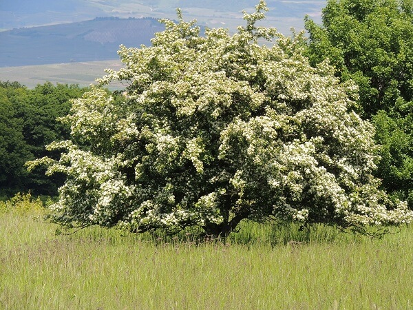 Hawthorn Tree | Trees Every Prepper Should Know
