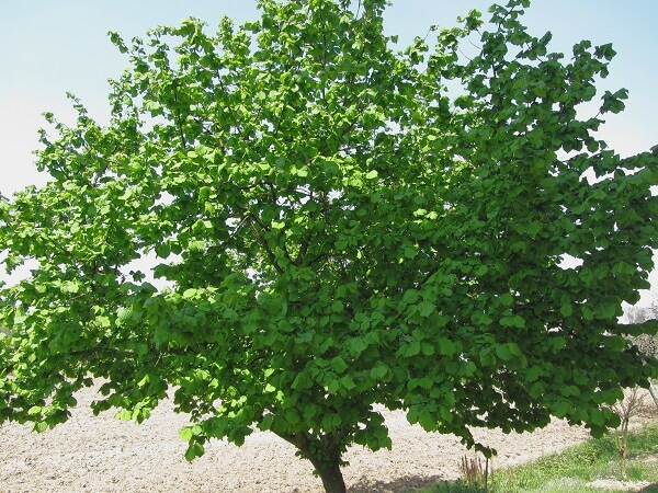 Hazel Tree | Trees Every Prepper Should Know