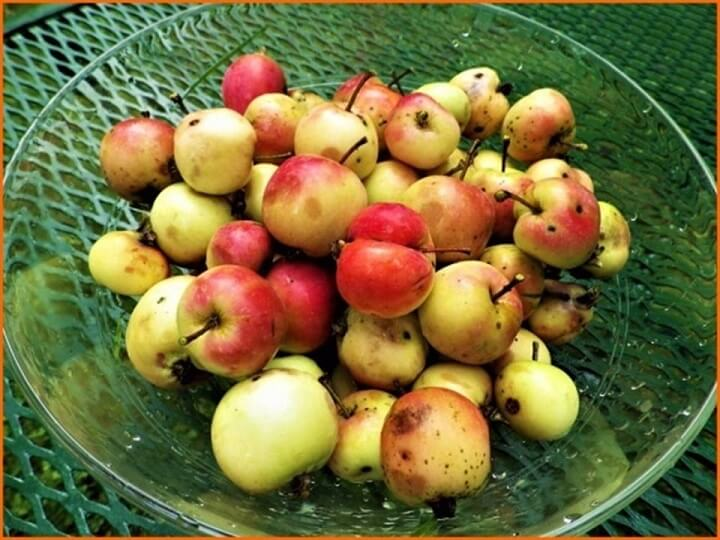 Large Wild Crab Apples