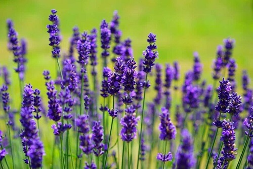 Lavender | Herbal Alternatives to Antibiotics