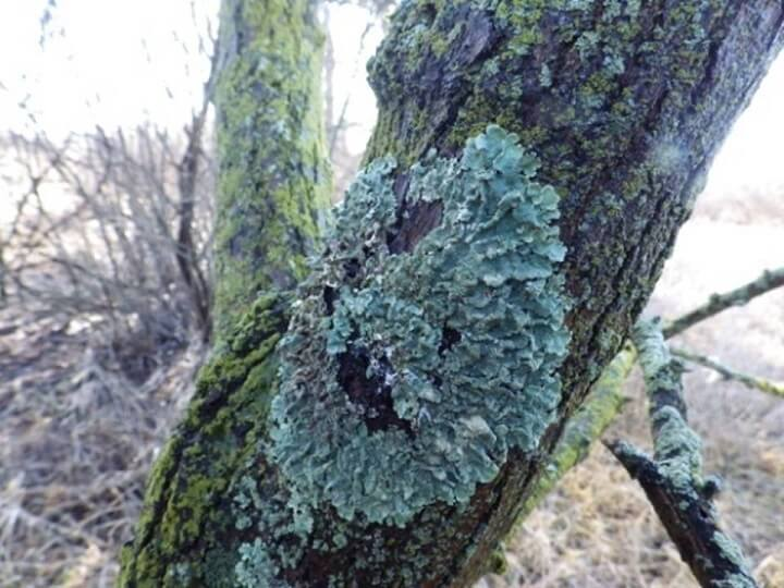Lichen On Oak Bark