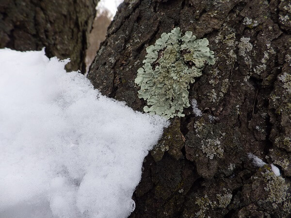 Lichens on Tree Bark in Winter