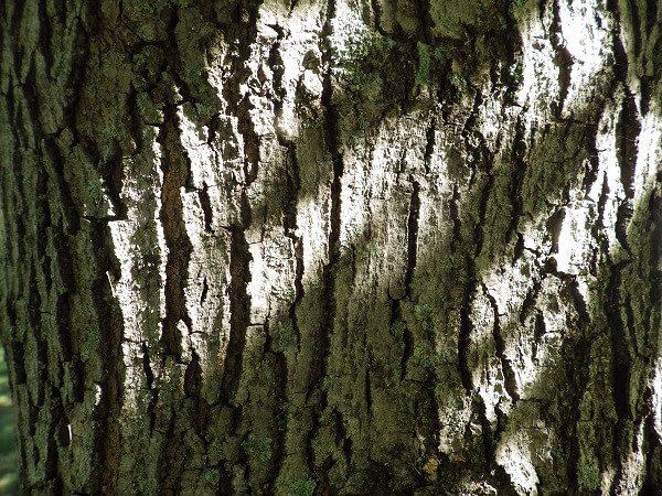 Maple Tree Bark