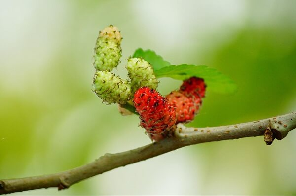 Mulberries Red Fruit Berry