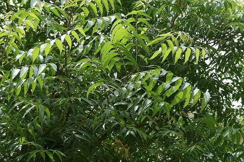 Neem | Herbal Alternatives to Antibiotics