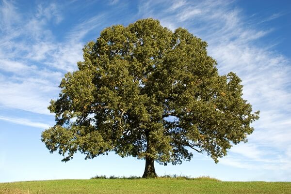 Oak Tree | Trees Every Prepper Should Know
