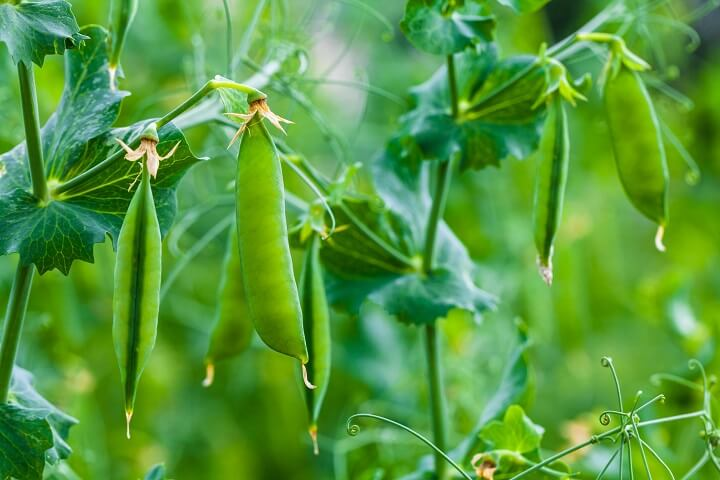 Pea Pods on Plant