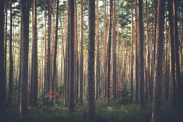 Pine Trees | Trees Every Prepper Should Know