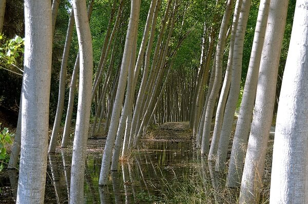 Poplar Trees | Trees Every Prepper Should Know