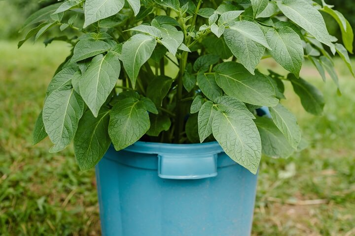 Potato Plant in Bucket