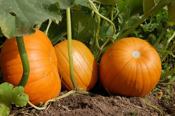 Pumpkin Plants