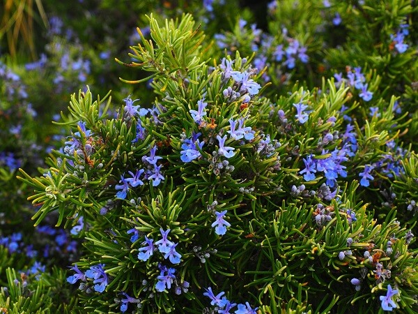 Rosemary | Native American Herbs