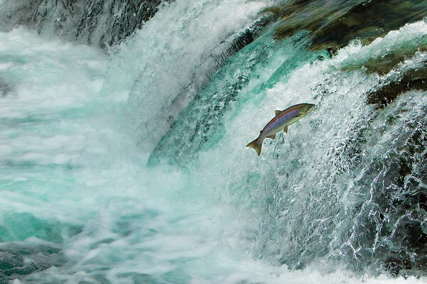 Salmon Jumping Waterfall