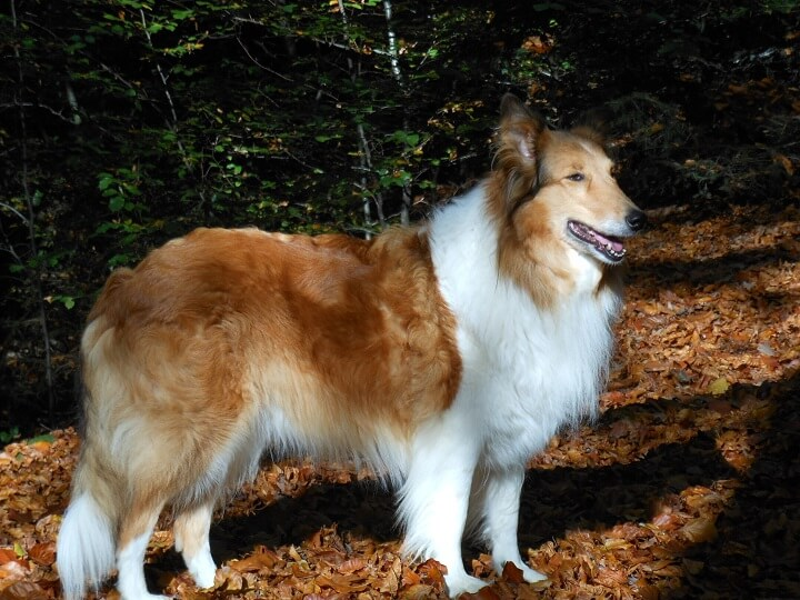 Scotch Collie Dog