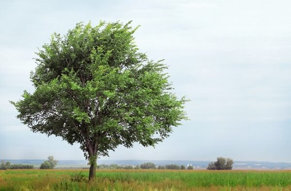 Slippery Elm Tree | Trees Every Prepper Should Know