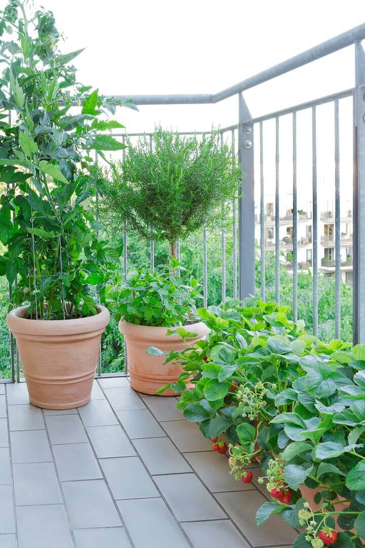 Strawberries, Tomatoes, and Rosemary Growing in Buckets