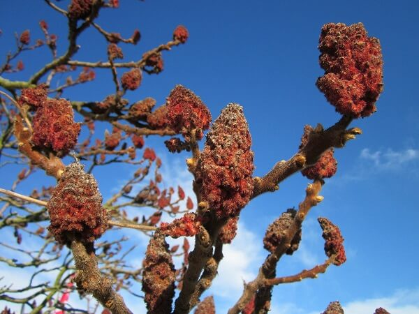 Sumac | Native American Herbs