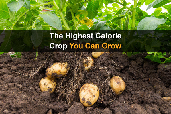 The Highest Calorie Crop You Can Grow