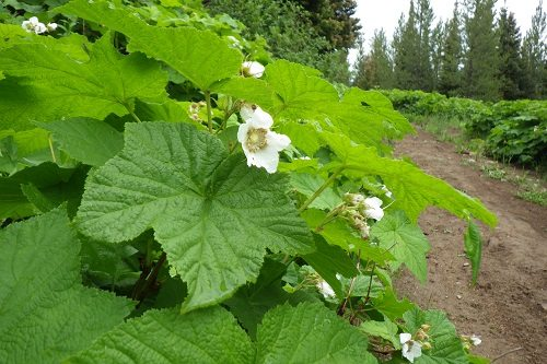 Thimbleberry Leaves