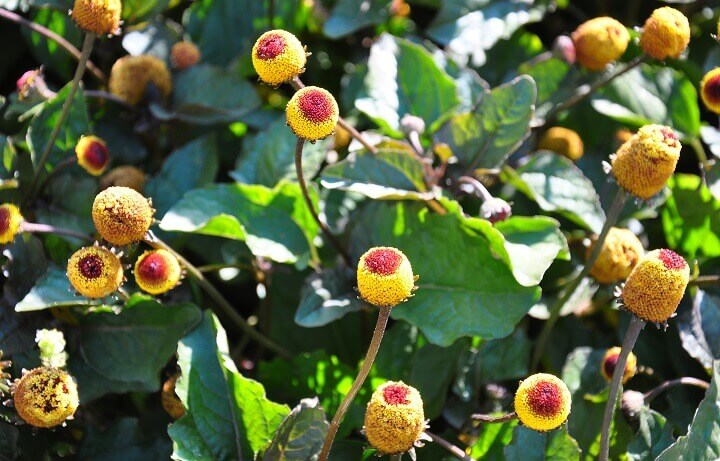Toothache Plant