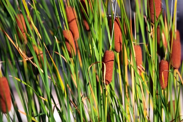 Typha angustifolia (narrowleaf cattail)