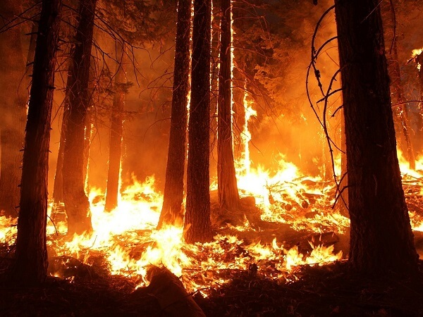 Wildfire Forest