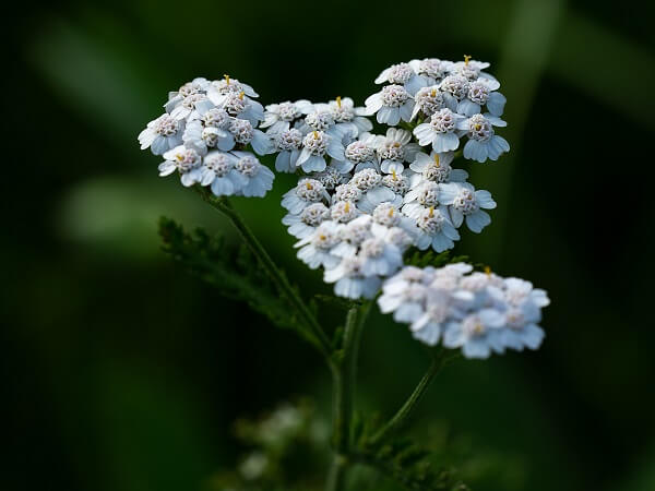Yarrow | Native American Herbs